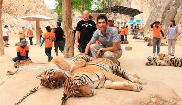 tigres tailandia drogados