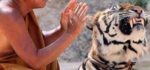 Tigres drogados Tailandia