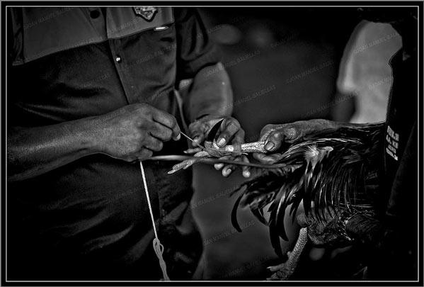 Peleas de gallos Bali
