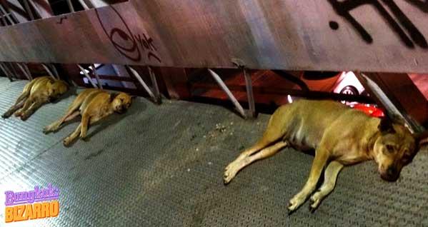 perros bangkok tailandia lujo asiático