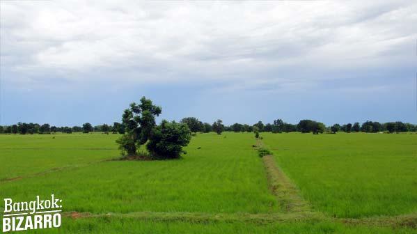 arrozal Camboya