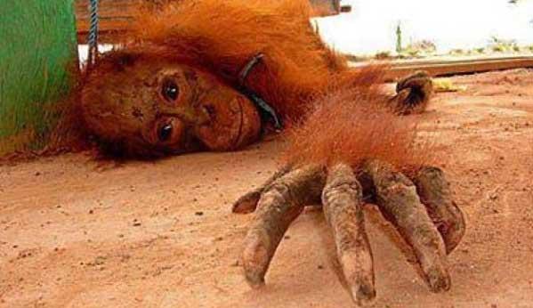 prostitución orangutanes